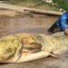 Pescan un siluro de 100 kilos en el Ebro a su paso por Lodosa
